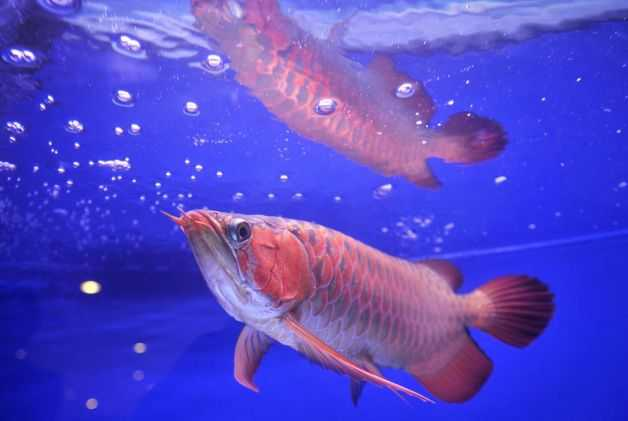 Magnificent Rtg Arowana Golden Arowana Asian Arowana Red Arowana