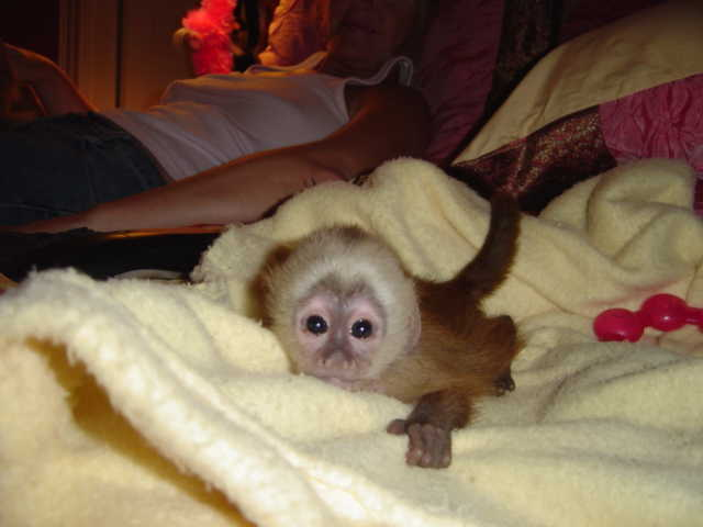 Acrobatic Beautiful Registered Baby Face Capuchin Monkey