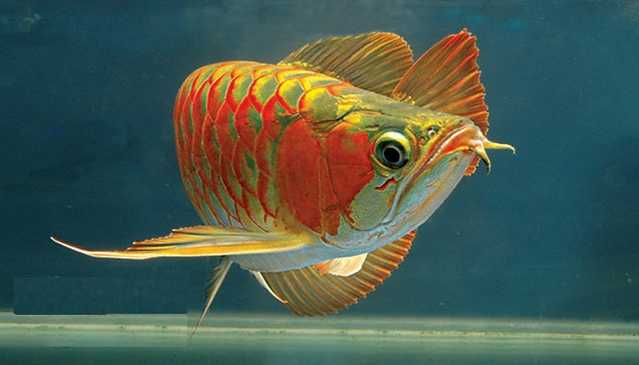 Arowana Fish, All Species Available For Sale