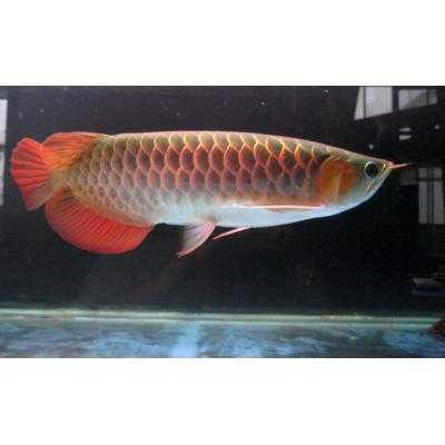 Best Quality Super Red, Chili Red And Golden Arowana Fishes For S