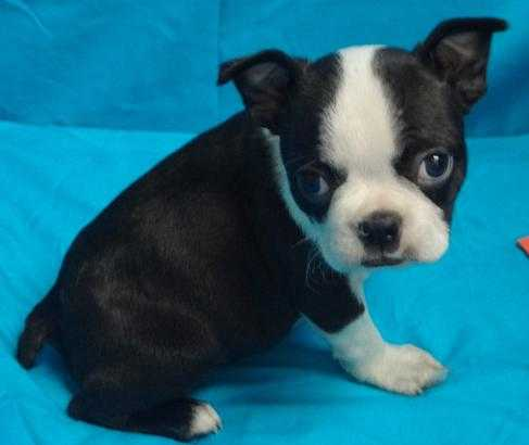 Excellent Boston Terrier Pup For Sale Now