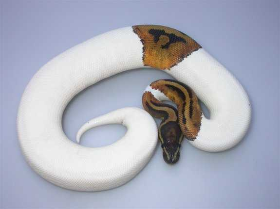 Piebald Pythons Available For Sale Now