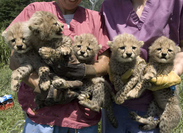 Male And Female Cheetah Cubs For Sale