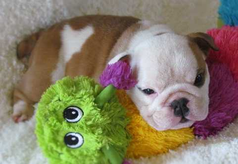 Akines English Bulldog Pups