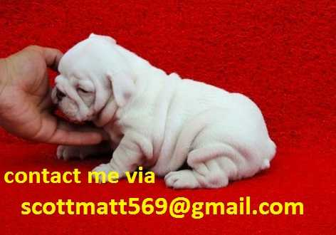 Koine English Bulldog Pups