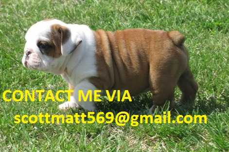 Boine English Bulldog Pups