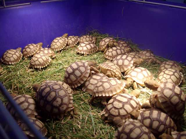 Young Sulcata Tortoises For Sale.