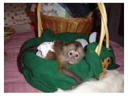 Text At - 775 - 403 - 2714 Beautiful Marmoset And Capuchin