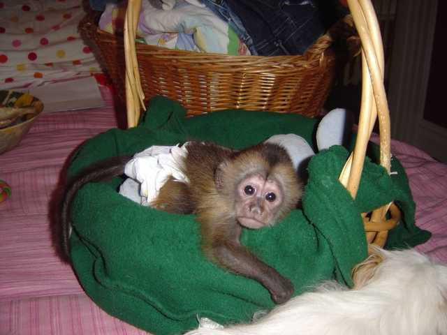 Lovely Baby Capuchin Monkeys