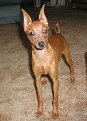 For Sale 8 Months Old Female Miniature Pinscher