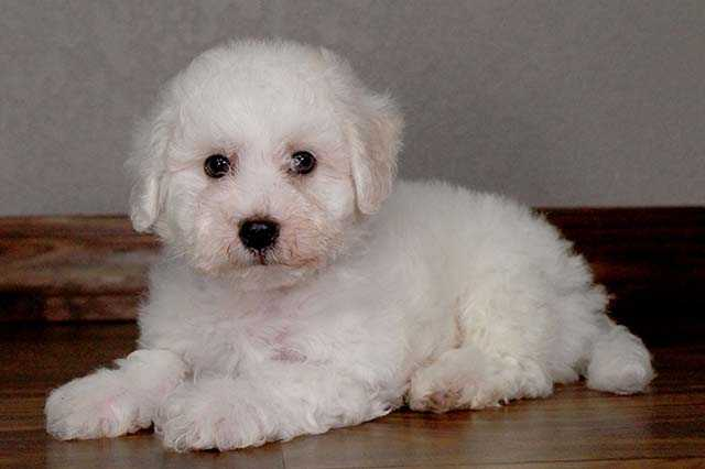 Bget Bichon Frise Pups Available Now