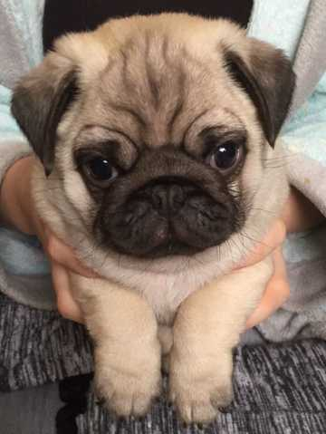 Psge Male And Female Pug Pups For Sale