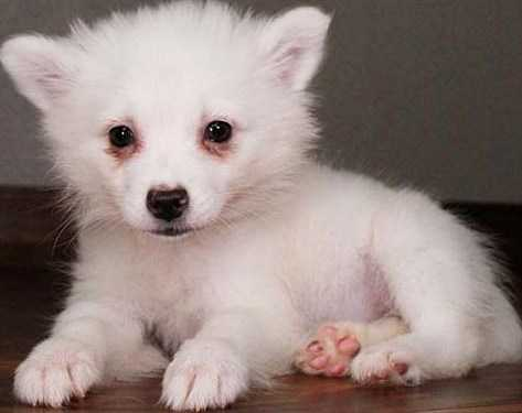 Bsge American Eskimo Pups Ready Now