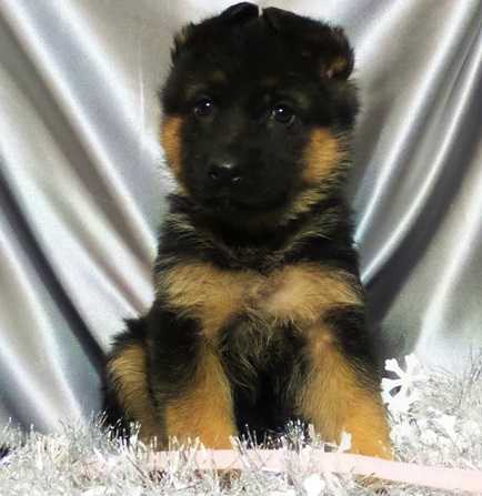 Lovely Xmas German Shepherd Dogs For Sale