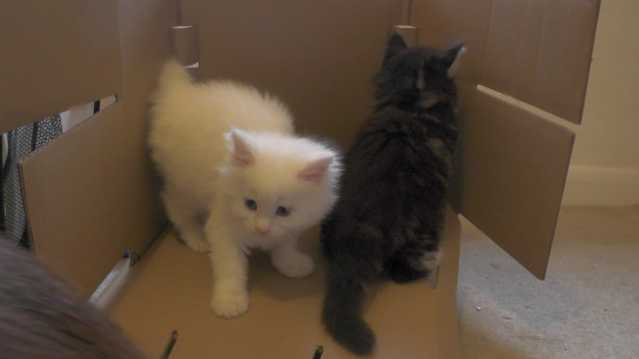 Two Beautiful Maine Coon Kittens