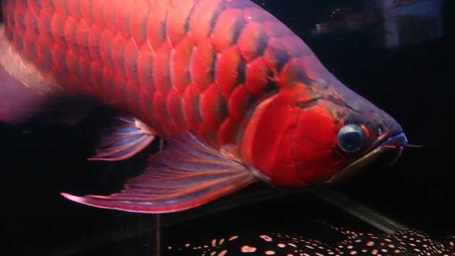 Live Asian Red Arowana Fishes And Other Types For Sale V Affordab