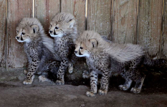 Beautiful Babies Cheetah Cubs For Sale