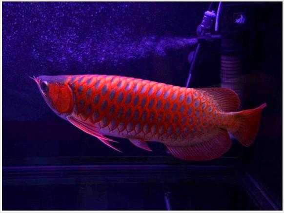 Asian Red Arowana Fish For Sale And Others Call Or Text At (760)