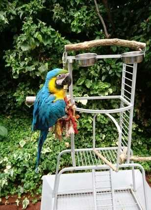 Hand Reared Blue And Gold Macaw 9 Months Old
