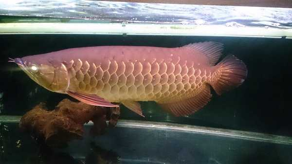 Golden Red Tailed Asian Arowana Fish For New Home