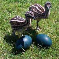 Emu Chicks & Fertile Emu Eggs For Sale