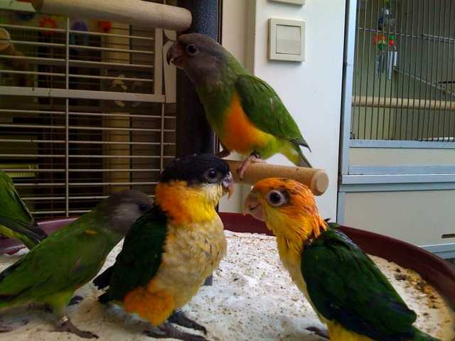 Fertile Parrot Eggs And Weaned Babies Available