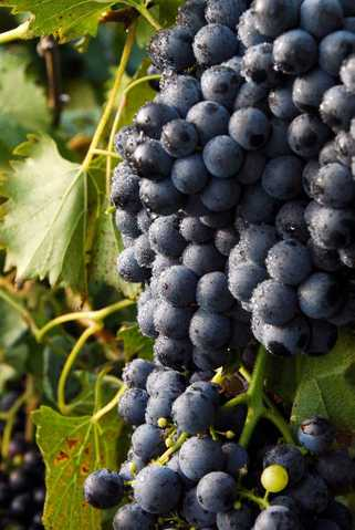 U - Pick French Wine Grapes
